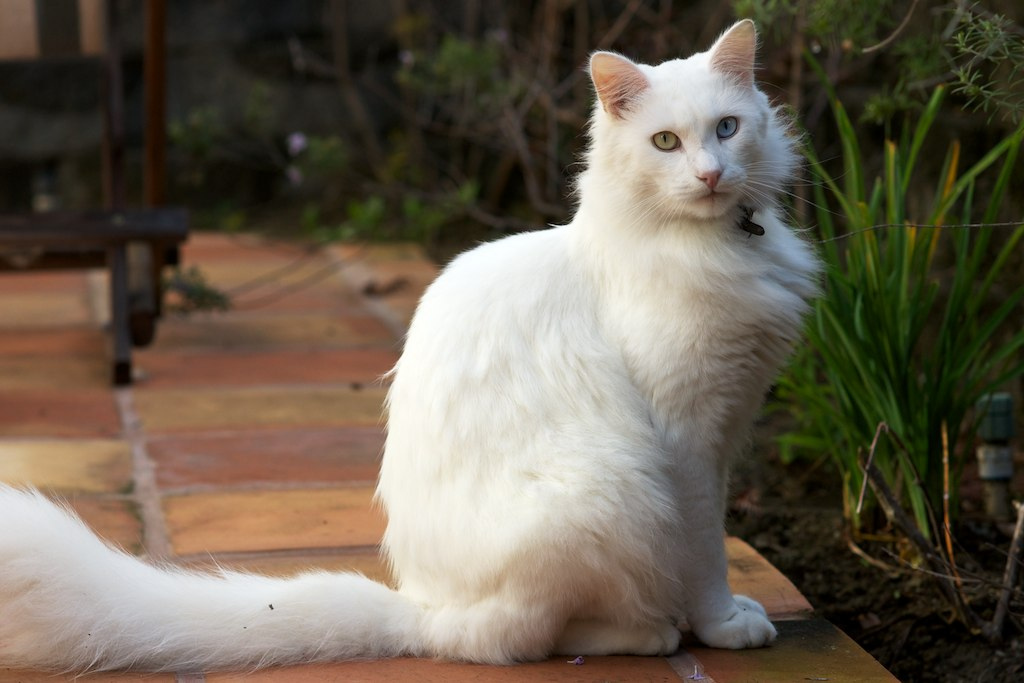 turkish-angora-27
